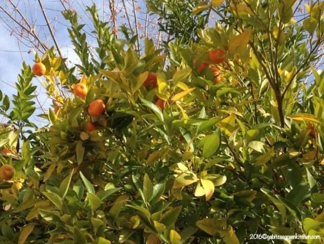 Orange Tree Granada Spain